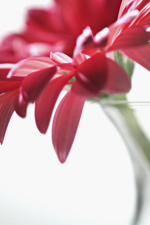 Red Gerber Daisy Close-up