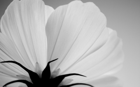 photo credit: Black and White Flower via photopin (license)