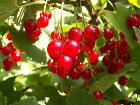 photo credit: Red currants via photopin (license)
