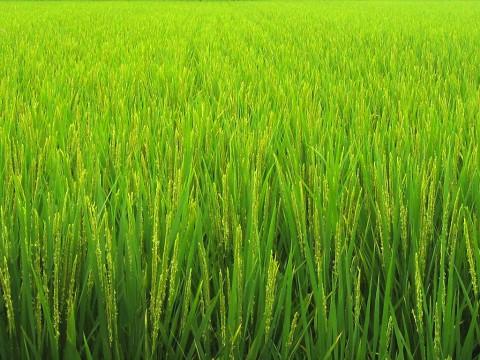 photo credit: rice paddy; Nara, Japan via photopin (license)