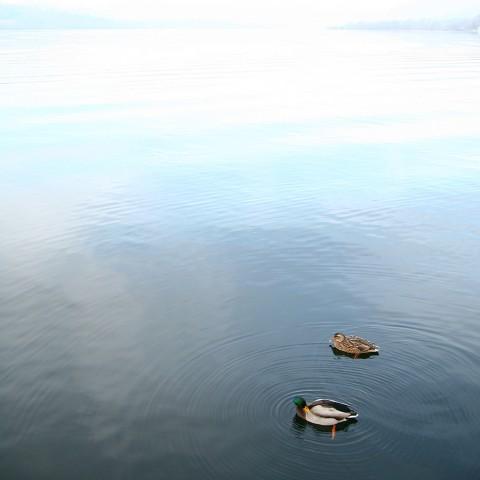 photo credit: Ducks via photopin (license)