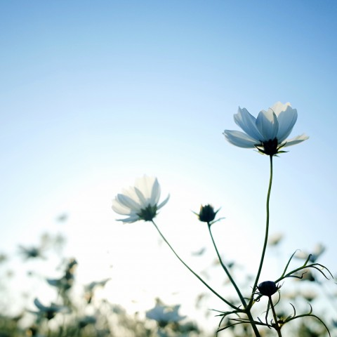 photo credit: Spring White Cosmos via photopin (license)