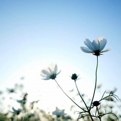 photo credit: Spring White Cosmos via photopin (license)