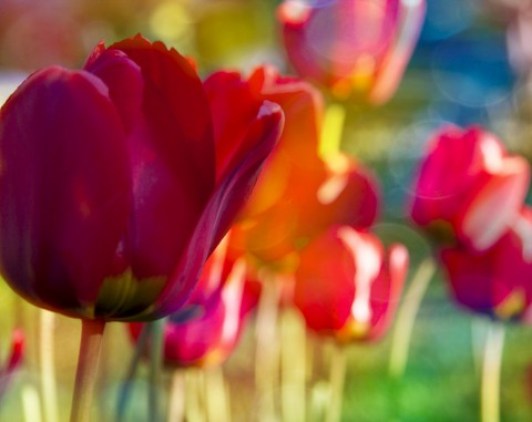 photo credit: Tulips via photopin (license)