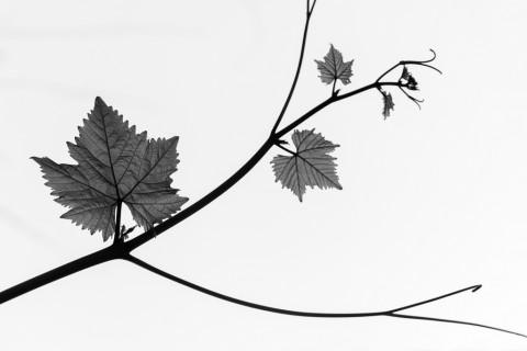 photo credit: Grape stalk via photopin (license)