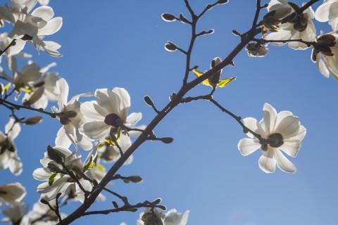 photo credit: Magnolia via photopin (license)