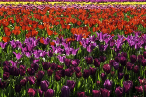 photo credit: docoverachiever Tulip Farm Impressionism via photopin (license)