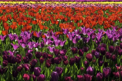 photo credit: docoverachiever Tulip Farm Impressionism via photopin (license)