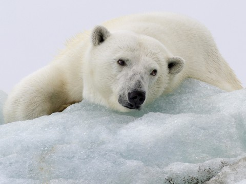 photo credit: RayMorris1 SLEEPY POLAR BEAR ON TOP OF AN ICEBERG via photopin (license)