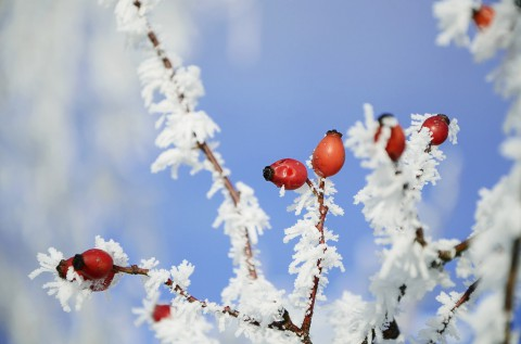 photo credit: Theo Crazzolara frozen rose hip via photopin (license)